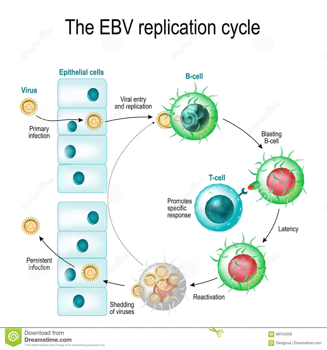 Le cycle de reproduction de virus d Epstein-Barr