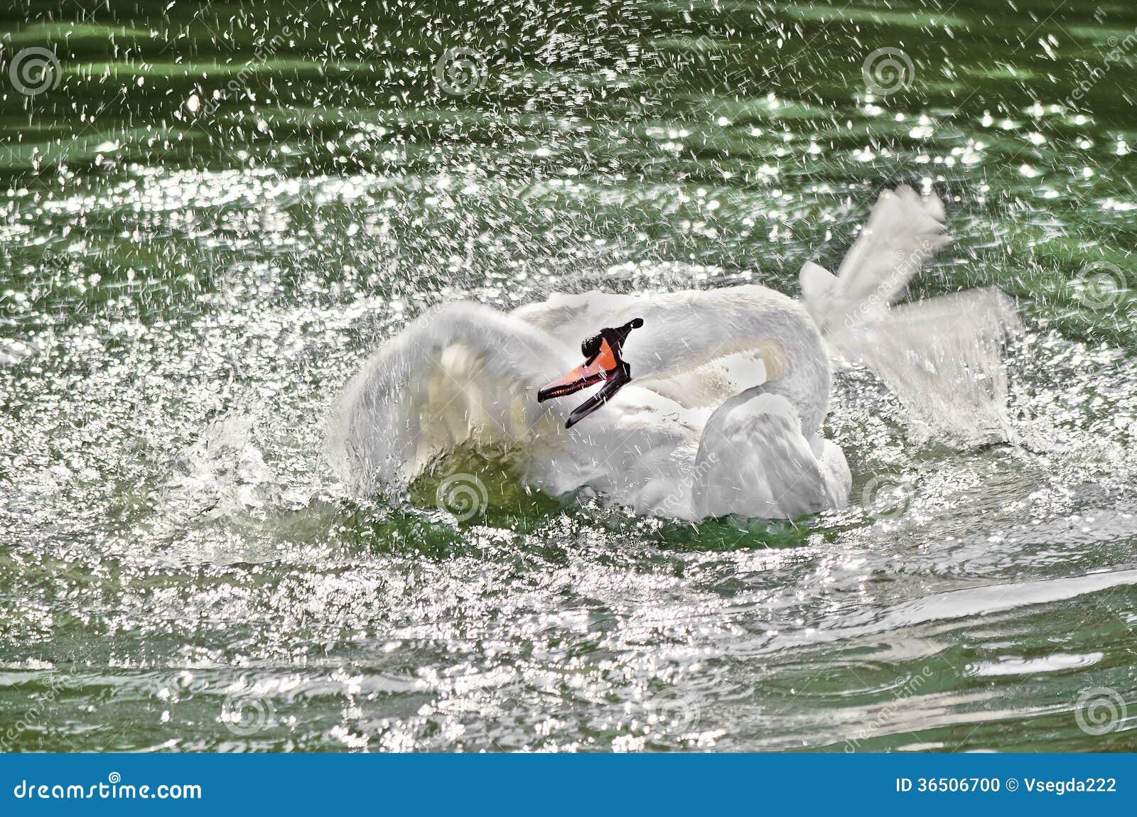 Le cygne agite ses ailes dans l eau.