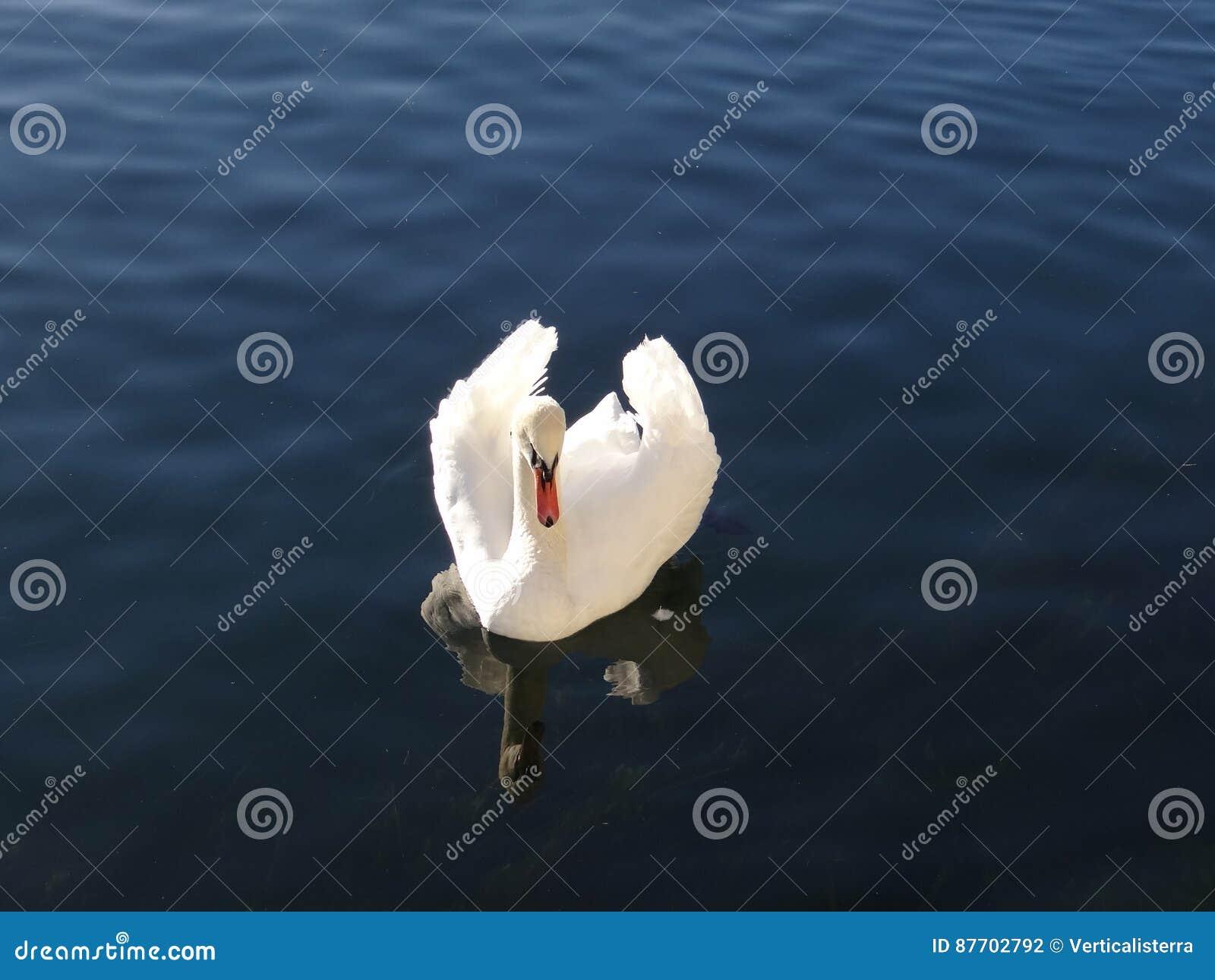 Le cygne majestueux semble adorer dans les réflexions de l eau calme du lac