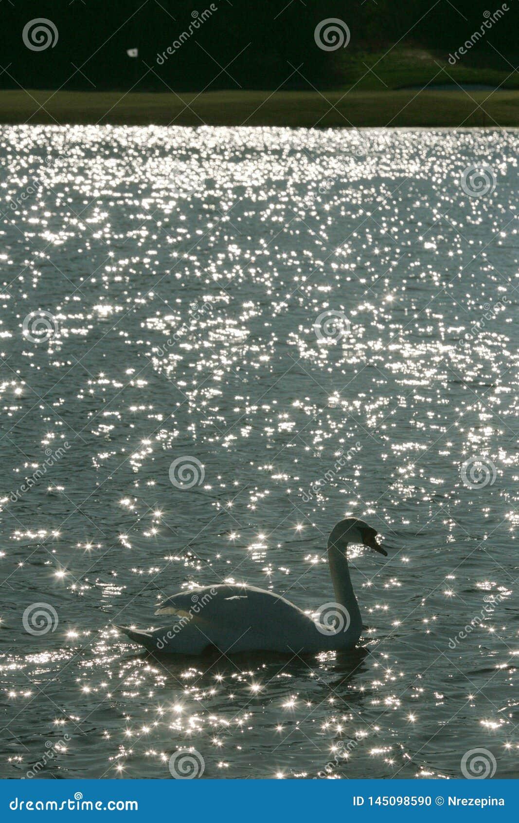 Le cygne nage dans le lac parmi un terrain de golf avec un drapeau