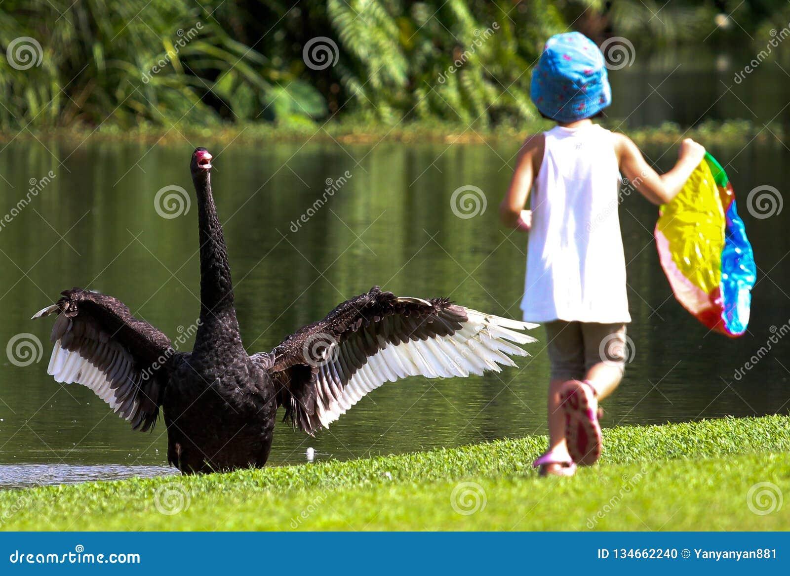 Le cygne noir a stocké et effraye par une petite fille