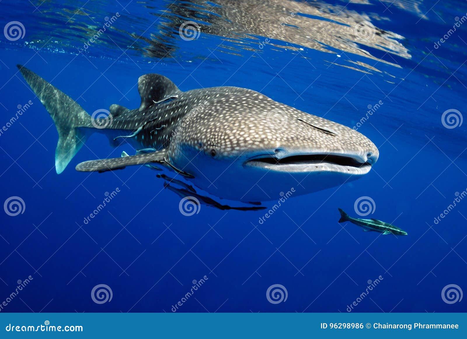 Le découpage 3d au-dessus du chemin rendent la baleine de requin d ombre blanche