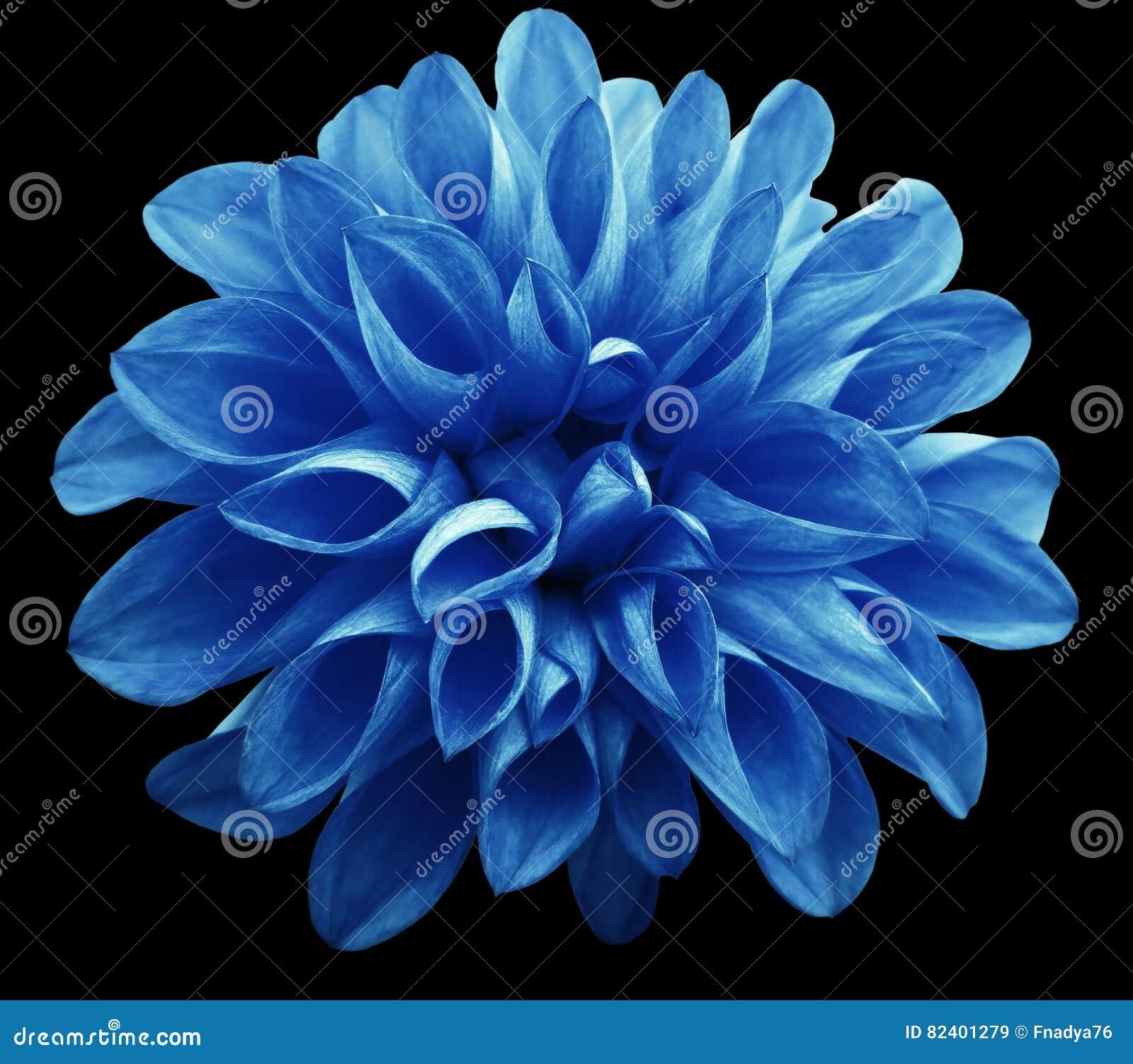 le dahlia bleu clair de fleur d 39 isolement sur le fond noir n 39 est aucune nuance image stock. Black Bedroom Furniture Sets. Home Design Ideas
