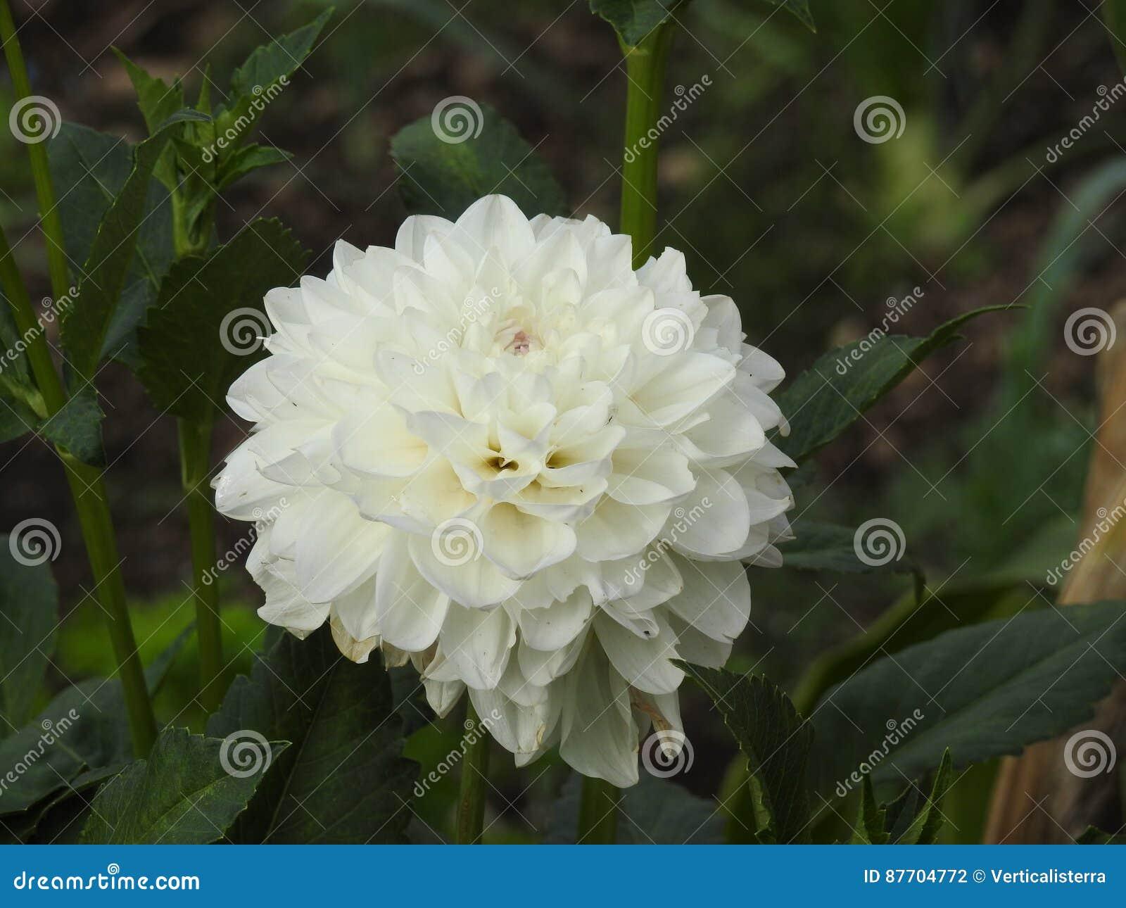 Le dahlia est une fleur très belle à se développer