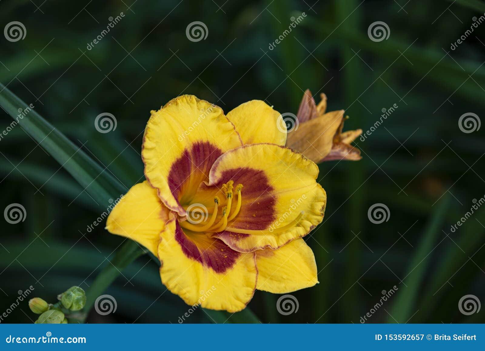 Le Daylily de luxe de fleur, Hemerocalis petit gaffent l abeille dans le jardin Fleur comestible Les Daylilies sont des plantes v