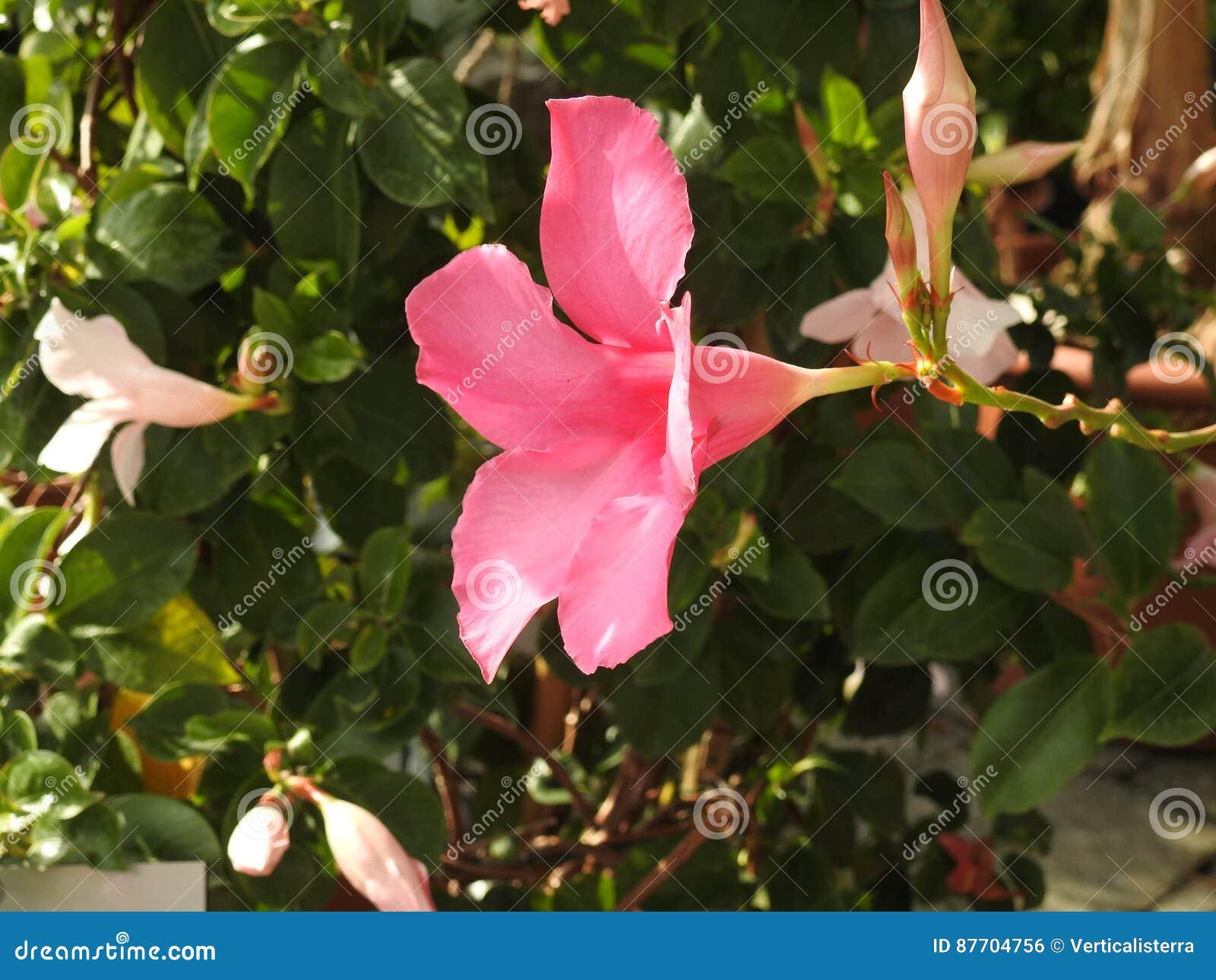Le dipladénia rose est une fleur qui craint le gel