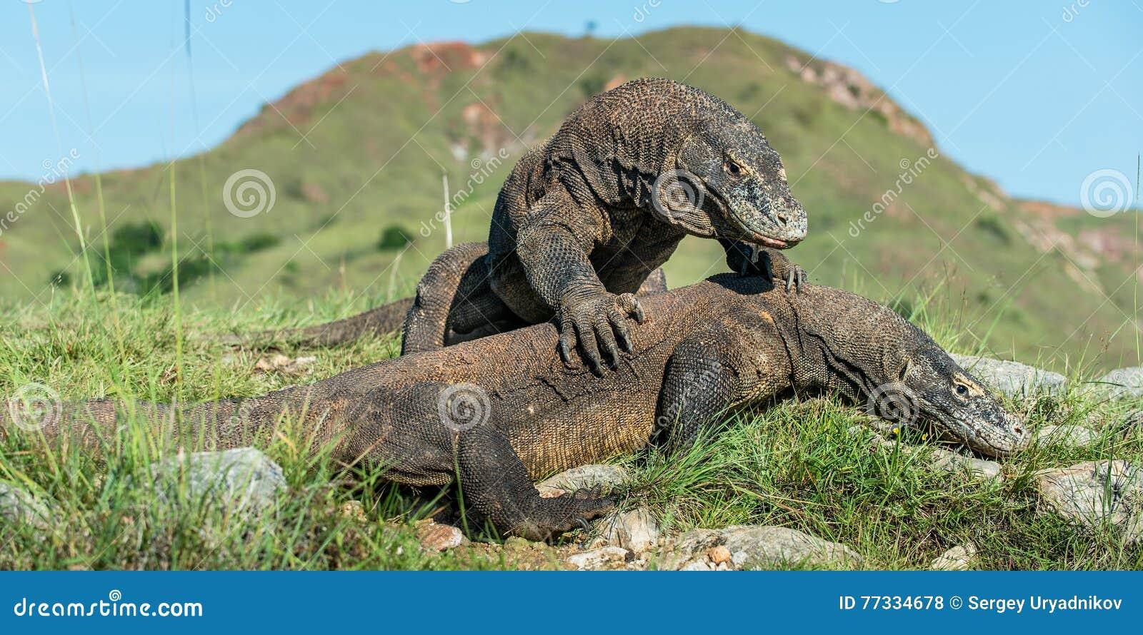 Le dragon de Comodo et le x28 de combat ; Komodoensis& x29 de Varanus ; pour la domination