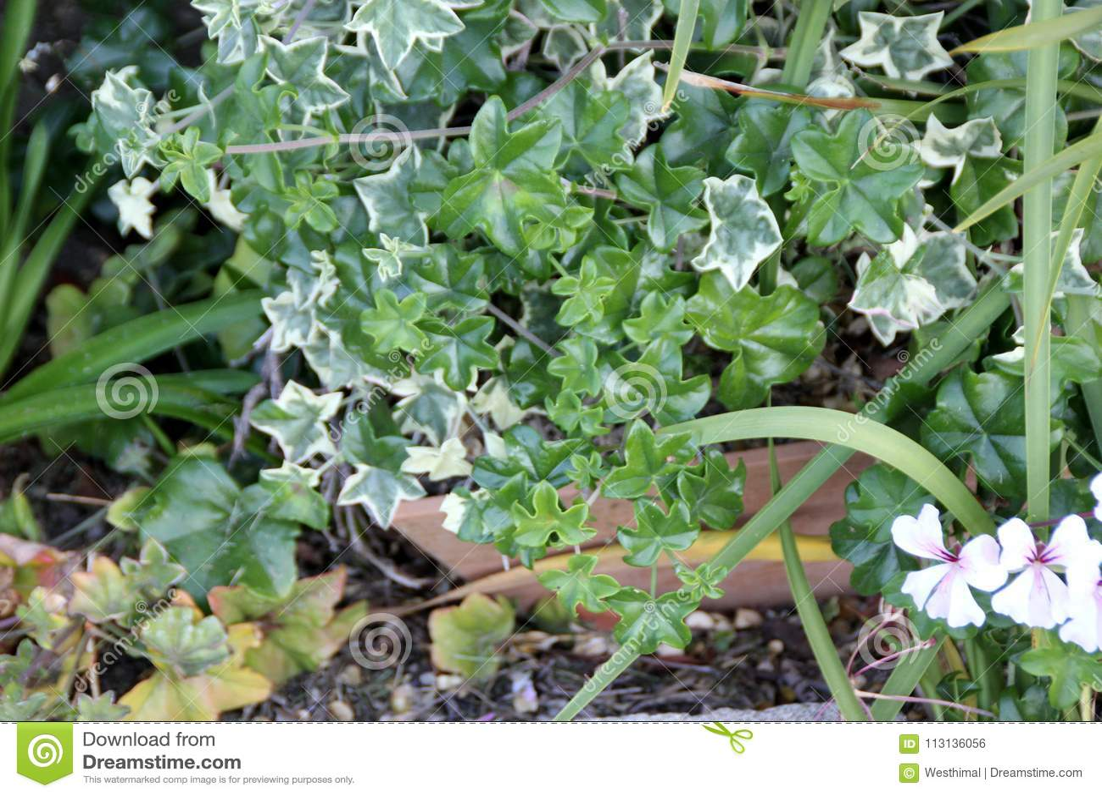 Le Elegant Ivy Leaved Geranium, Pelargonium peltatum `La Elegant`,