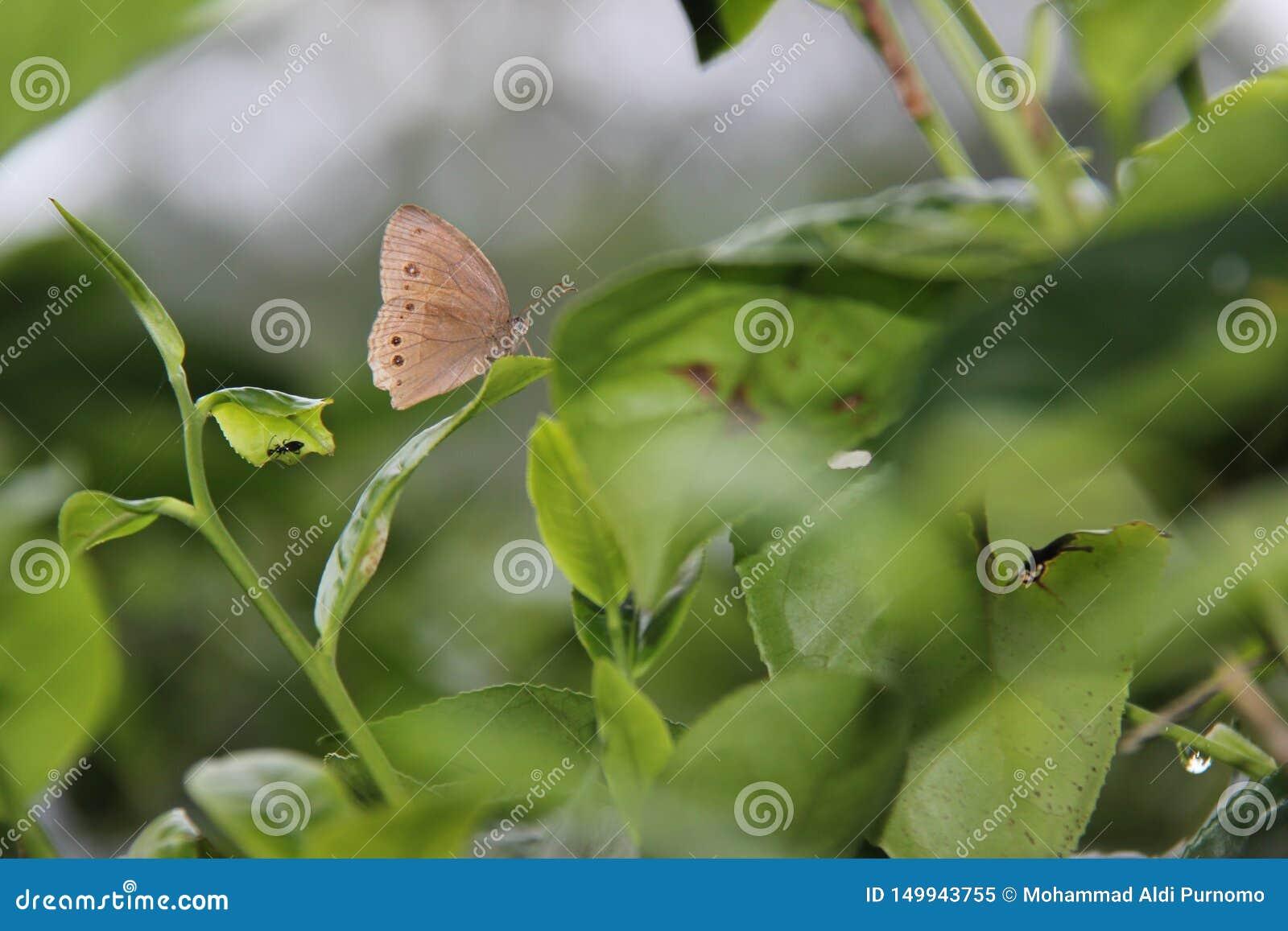 Le farfalle di Brown si appollaiano sulle foglie di tè verdi