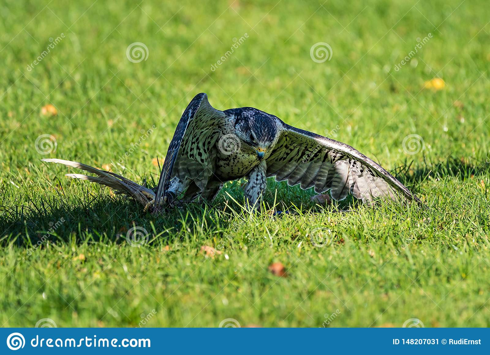 Le faucon de saker, cherrug de Falco en parc naturel allemand