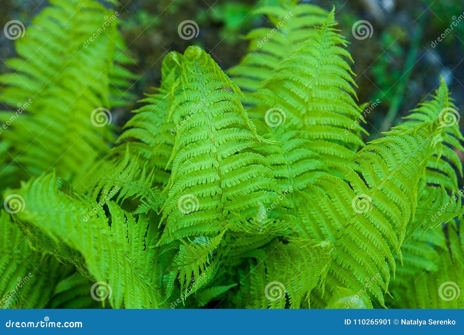 Le felci di Beautyful lascia a fogliame verde il fondo floreale naturale della felce al sole