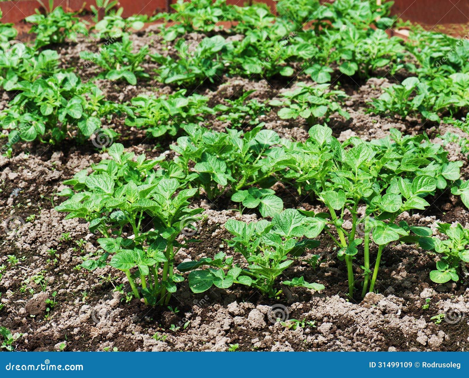 Le file della crescita si inverdiscono la pianta di patate for Quando si seminano le patate