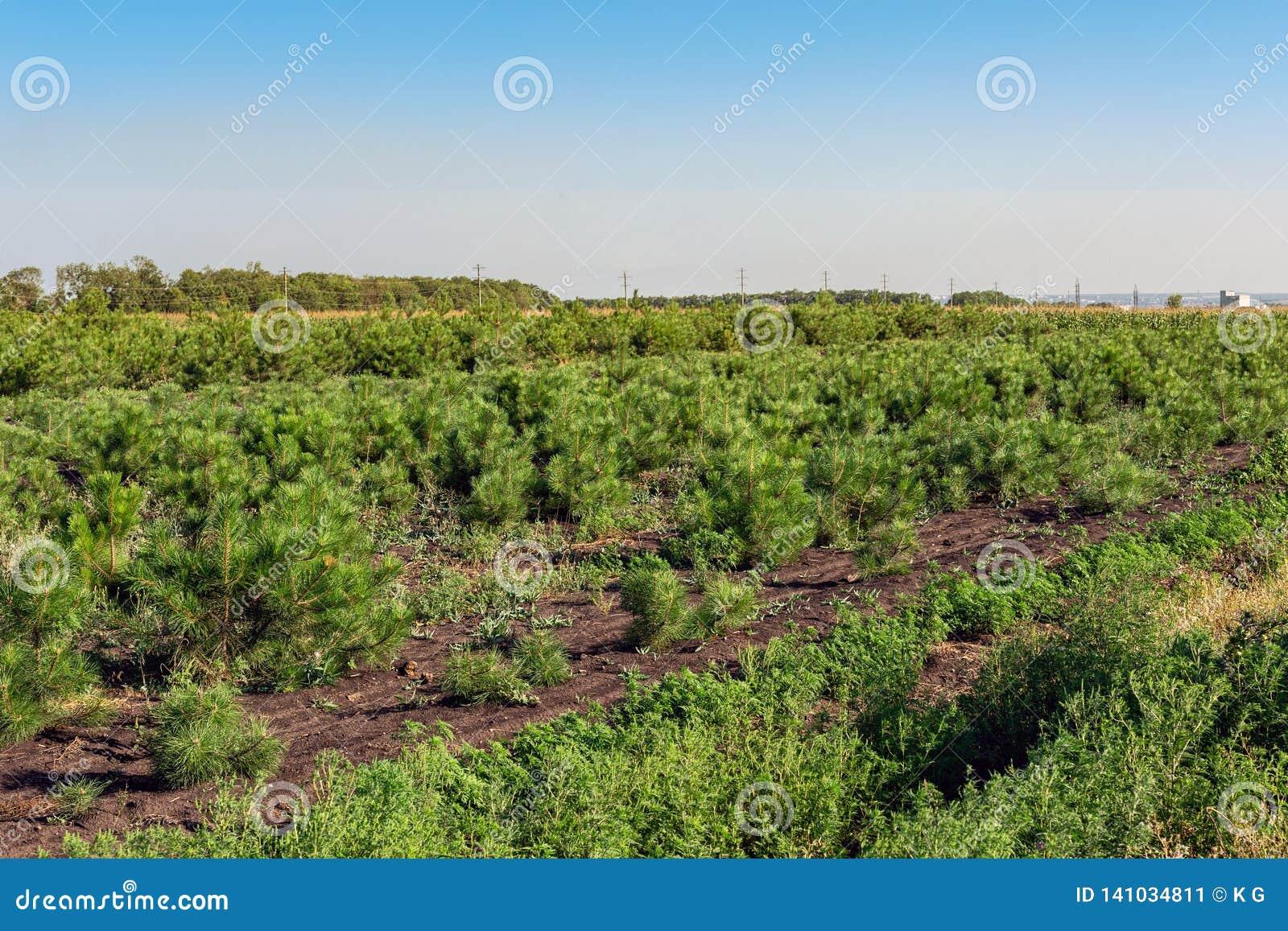 Le file di piccoli pini luminosi alla scuola materna conifera fanno il giardinaggio Giovani conifere crescenti alla piantagione d