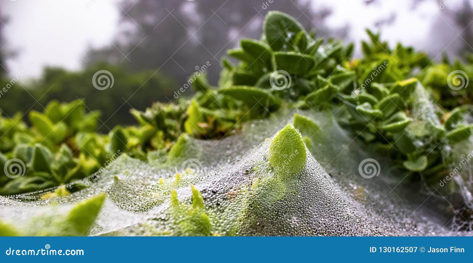 Le foglie con rugiada hanno coperto le ragnatele di mattina