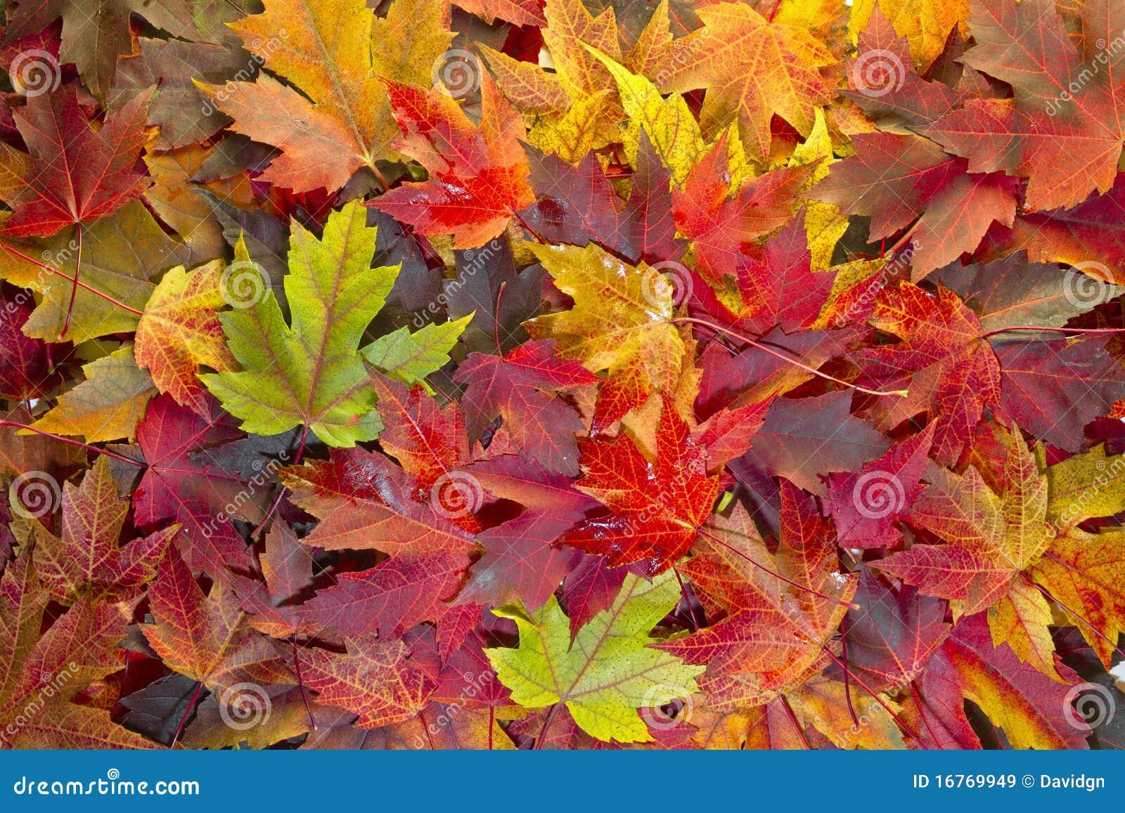 Le foglie di acero miste caduta colora la priorità bassa 2