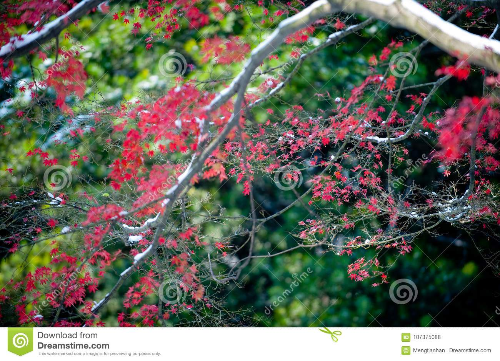 Le foglie di acero rosse nell inverno