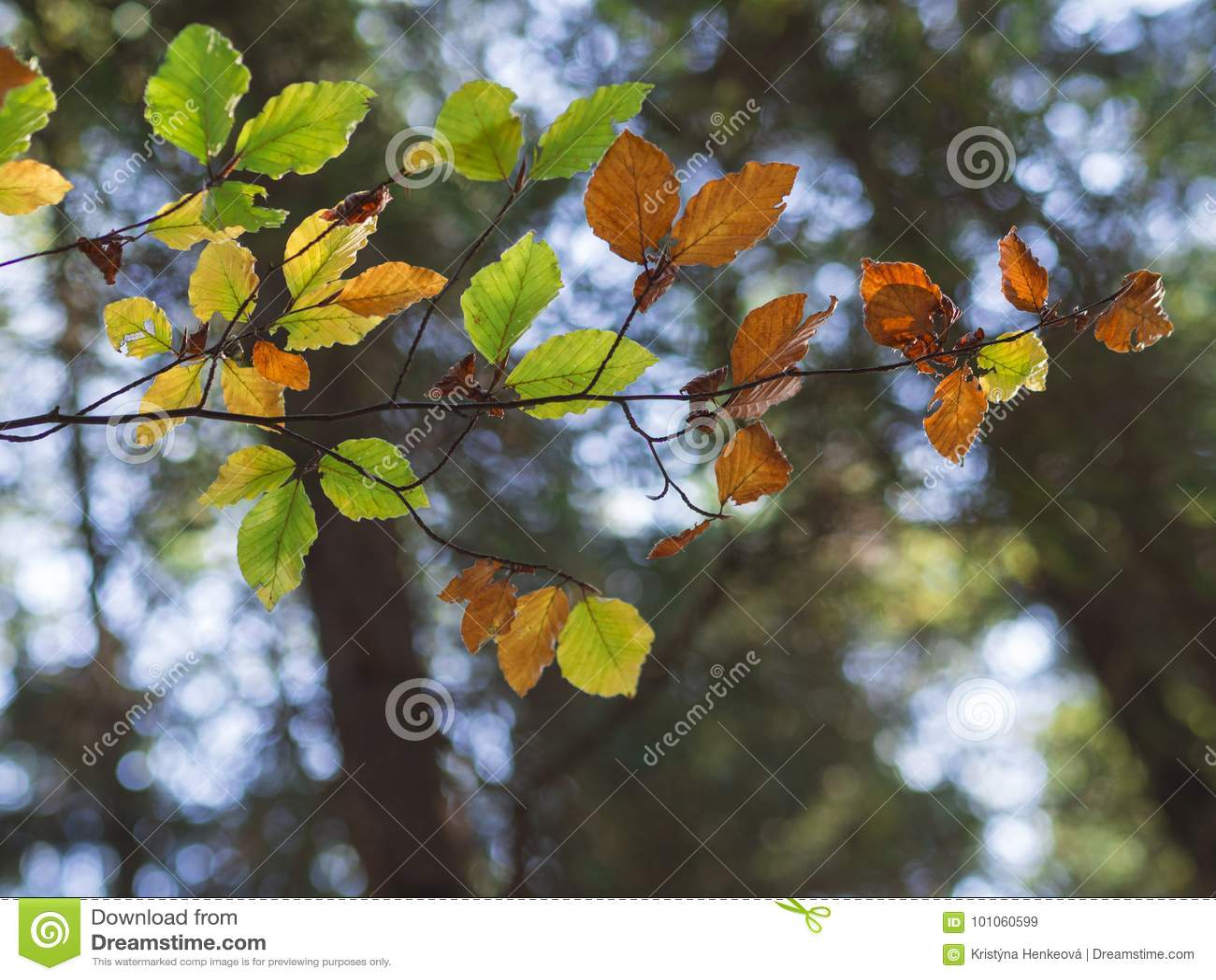 Le foglie di autunno variopinte dell albero di ontano su bokeh accende il fondo