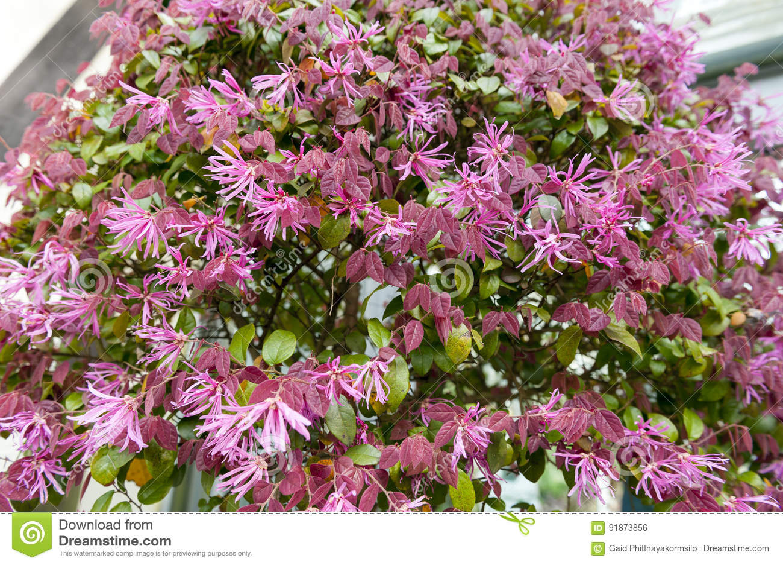 Le foglie di rosso ed i fiori rosa della pianta cinese for Rosa pianta