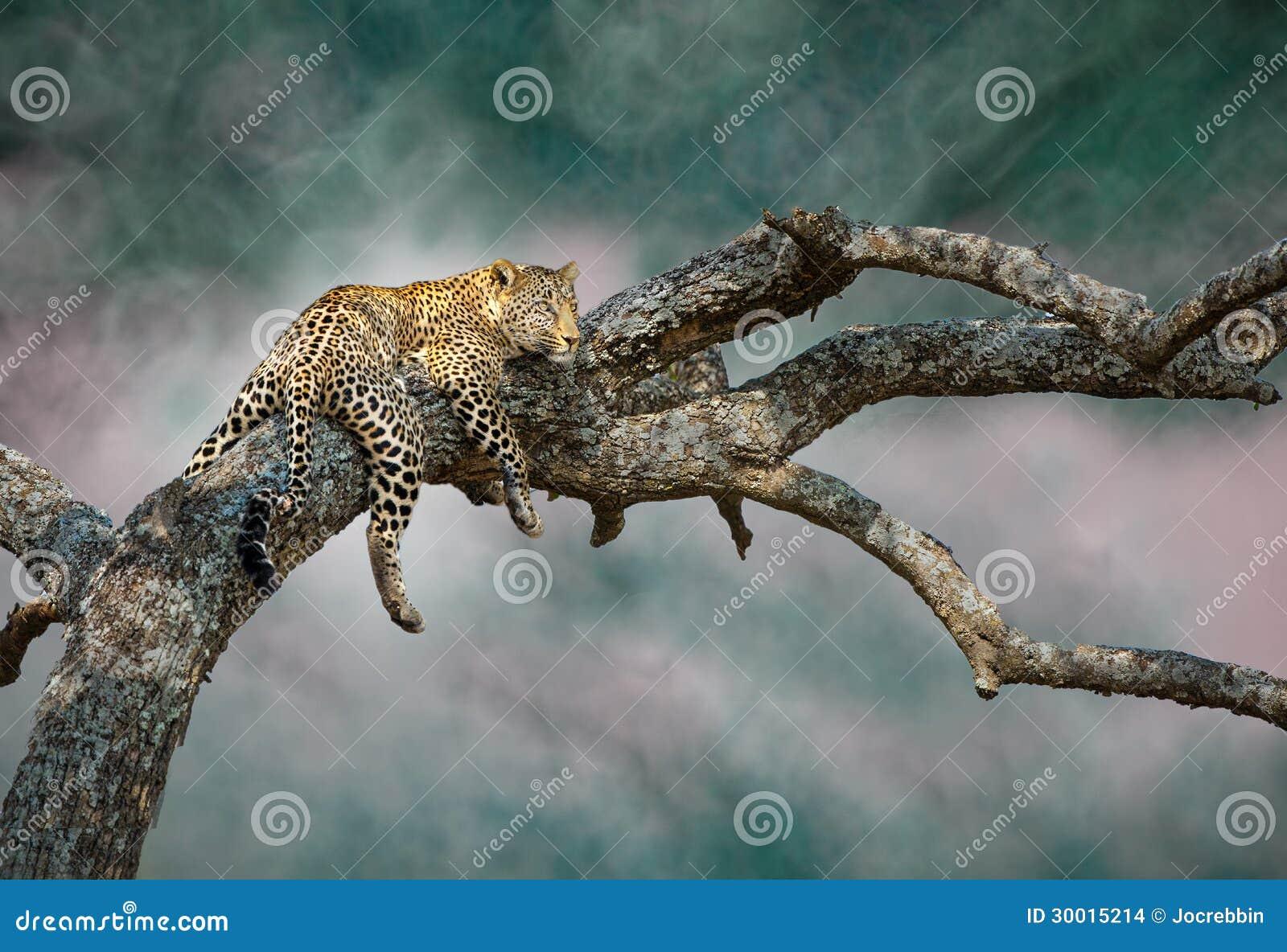 Le léopard évasif