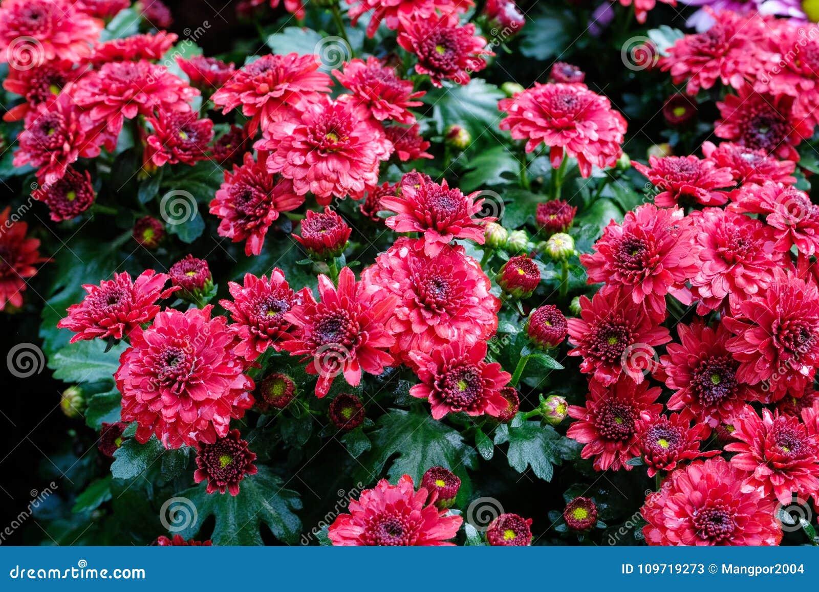 Le Fond De Fleur De Nature Marguerite Rouge Fleurit La Floraison Au