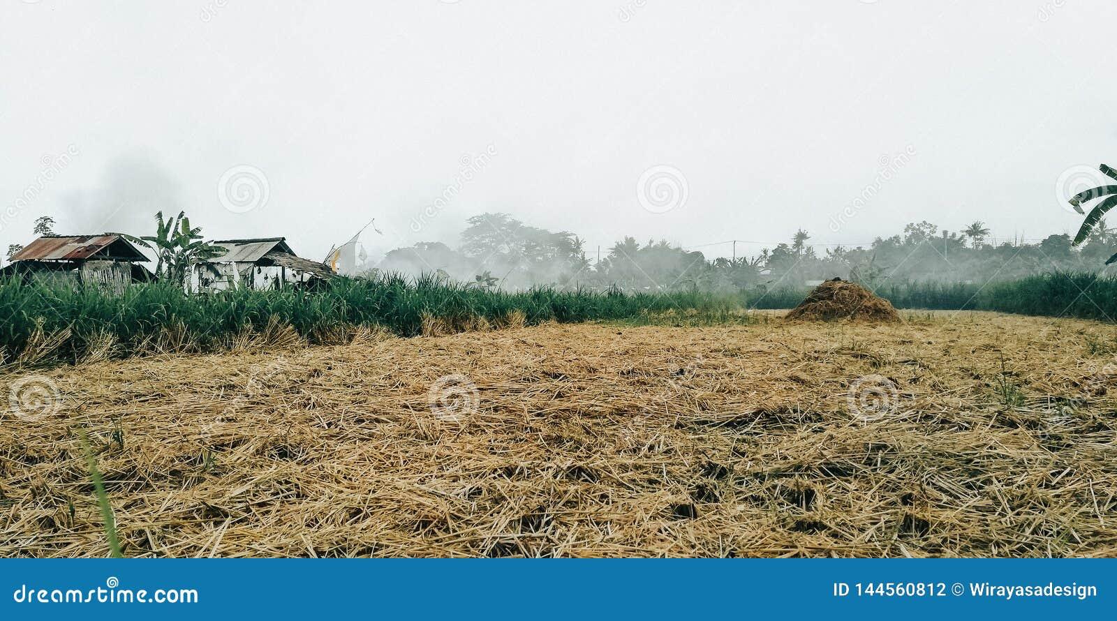 Le fond des gisements jaunes de riz, quand du riz est moissonné par des agriculteurs