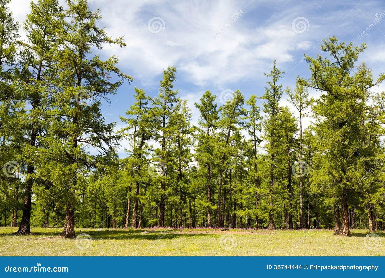 Le foreste nordiche della Mongolia