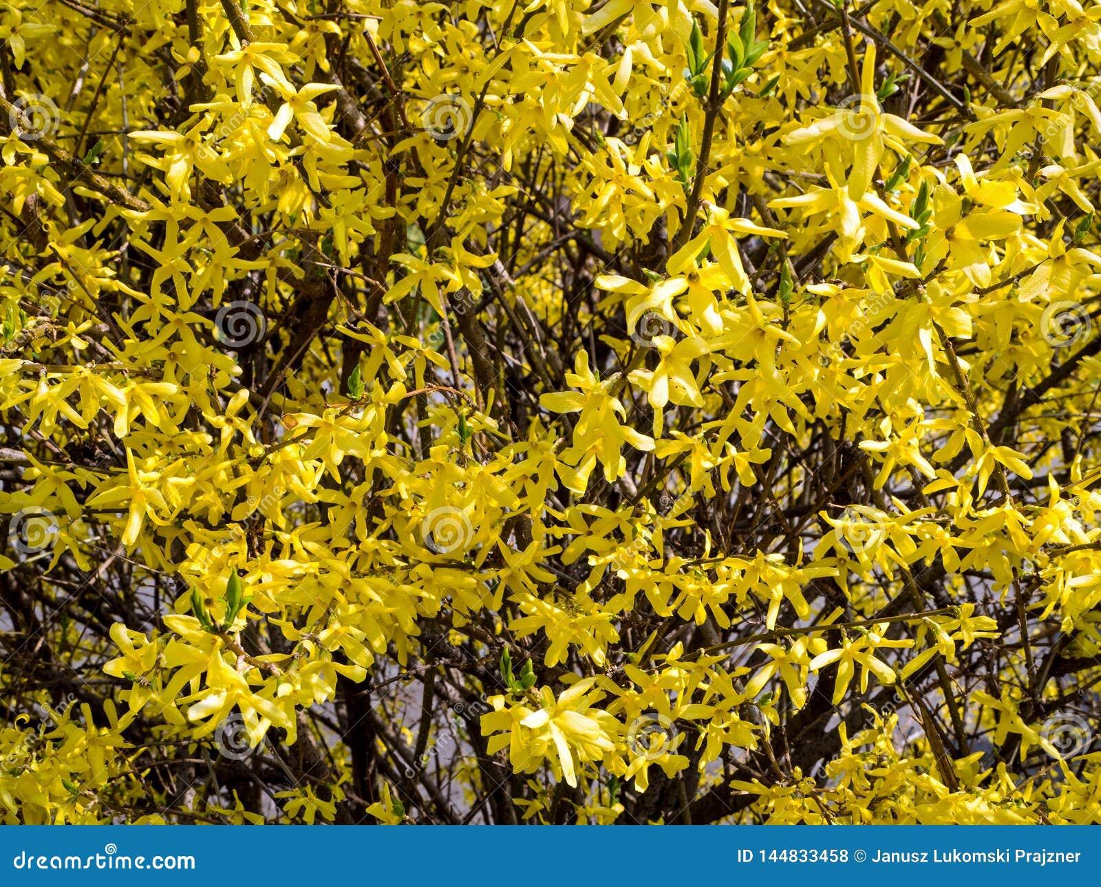 Le forsythia est un genre des usines de floraison dans l Oleaceae de famille olive