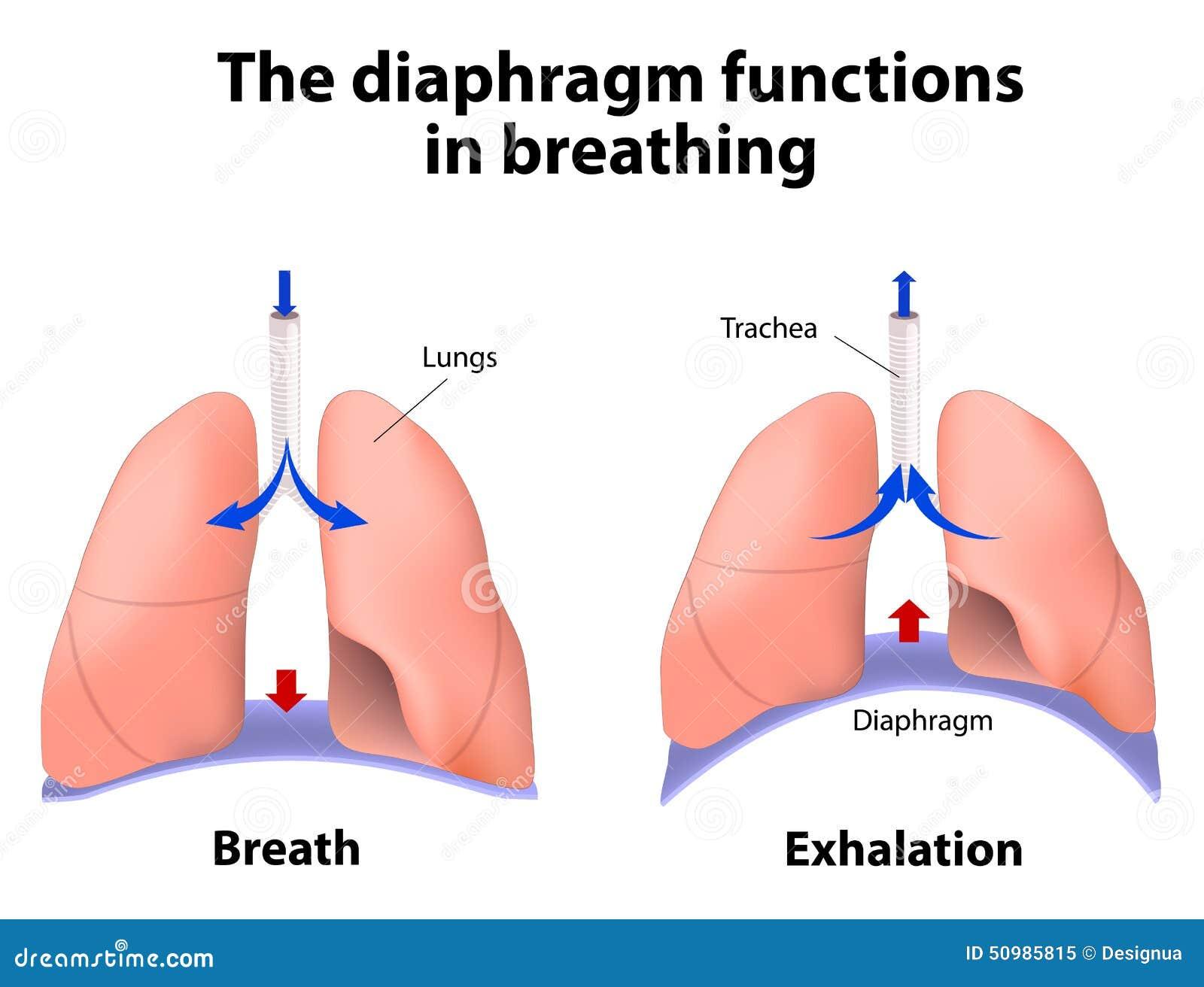 Le funzioni del diaframma nella respirazione
