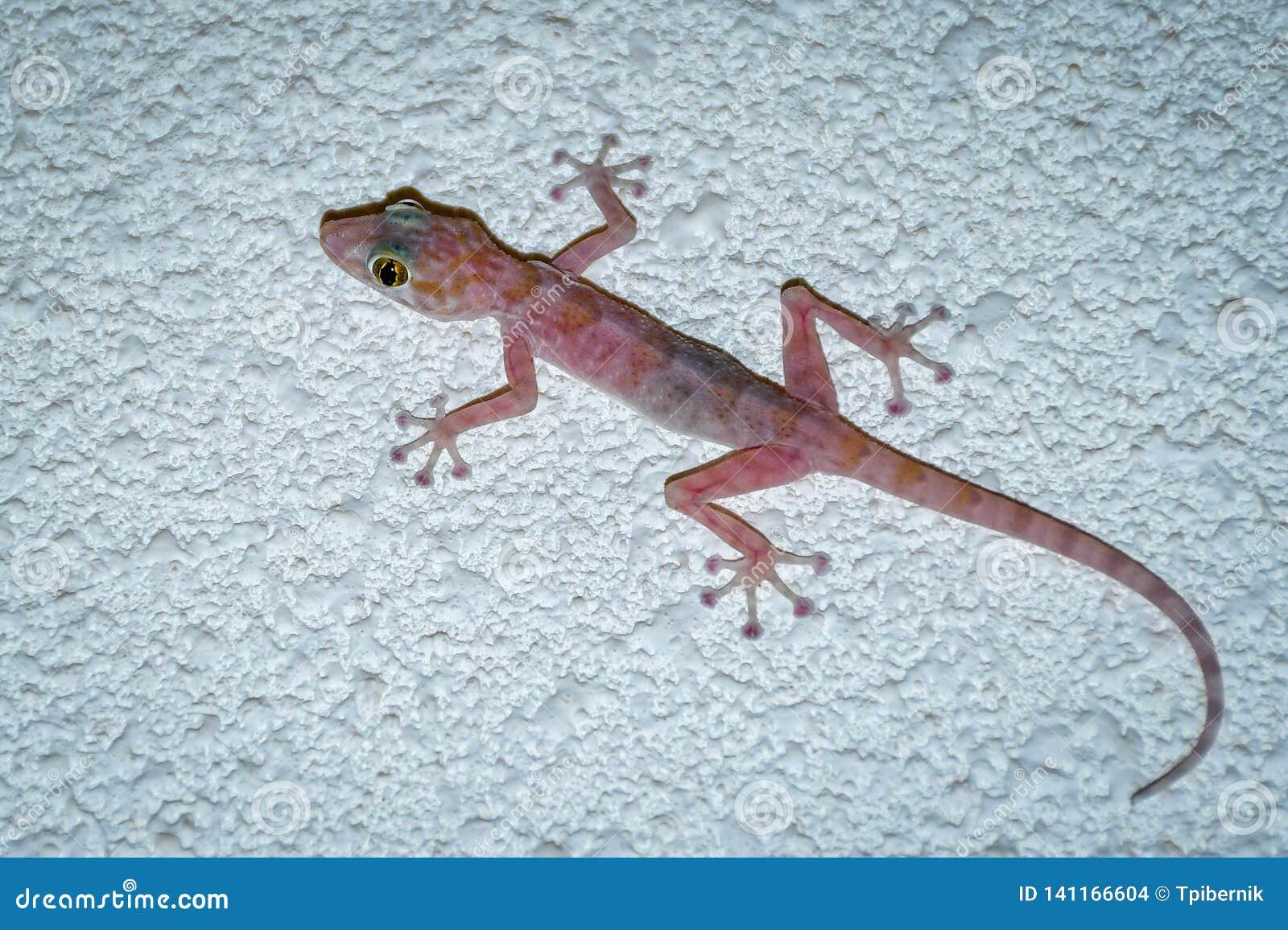 Le gecko coloré avec de grands yeux s élevant et chassant vole