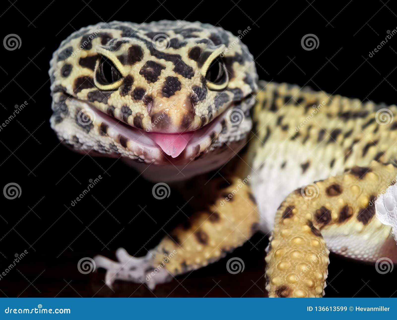 Le gecko de léopard avec les taches noires et jaunes se ferment avec la langue collant