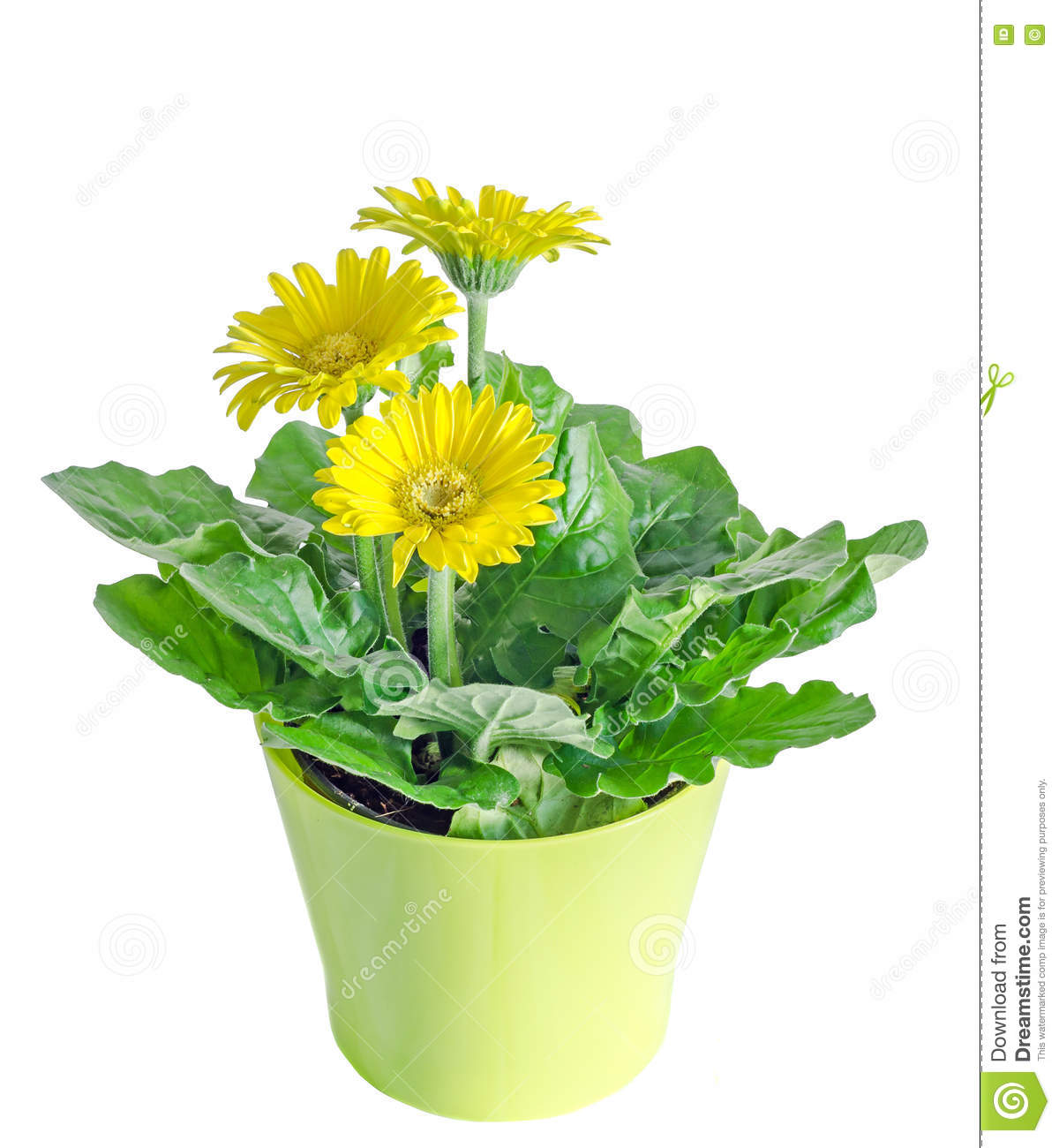 le gerbera jaune fleurit dans un vase pot de fleurs feuilles de vert fin photo stock image. Black Bedroom Furniture Sets. Home Design Ideas