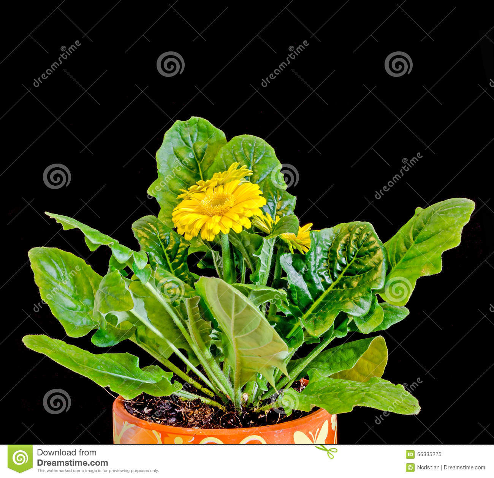 le gerbera jaune fleurit des feuilles de vert vase pot de fleurs fin d 39 isolement asteraceae. Black Bedroom Furniture Sets. Home Design Ideas