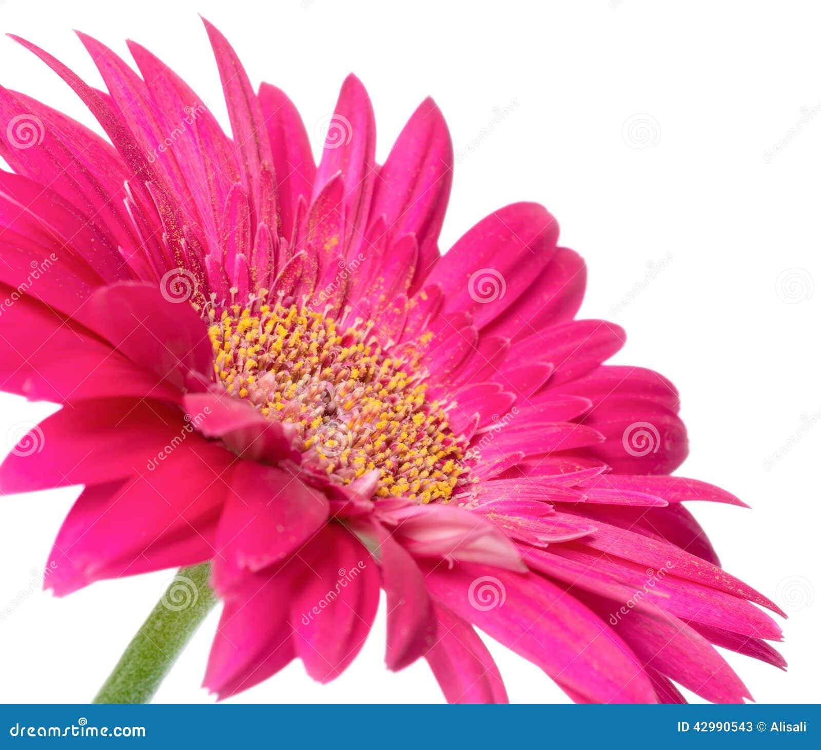 Le Gerbera Rose De Fleur De La Tige Est Isole Sur Le Fond Blanc