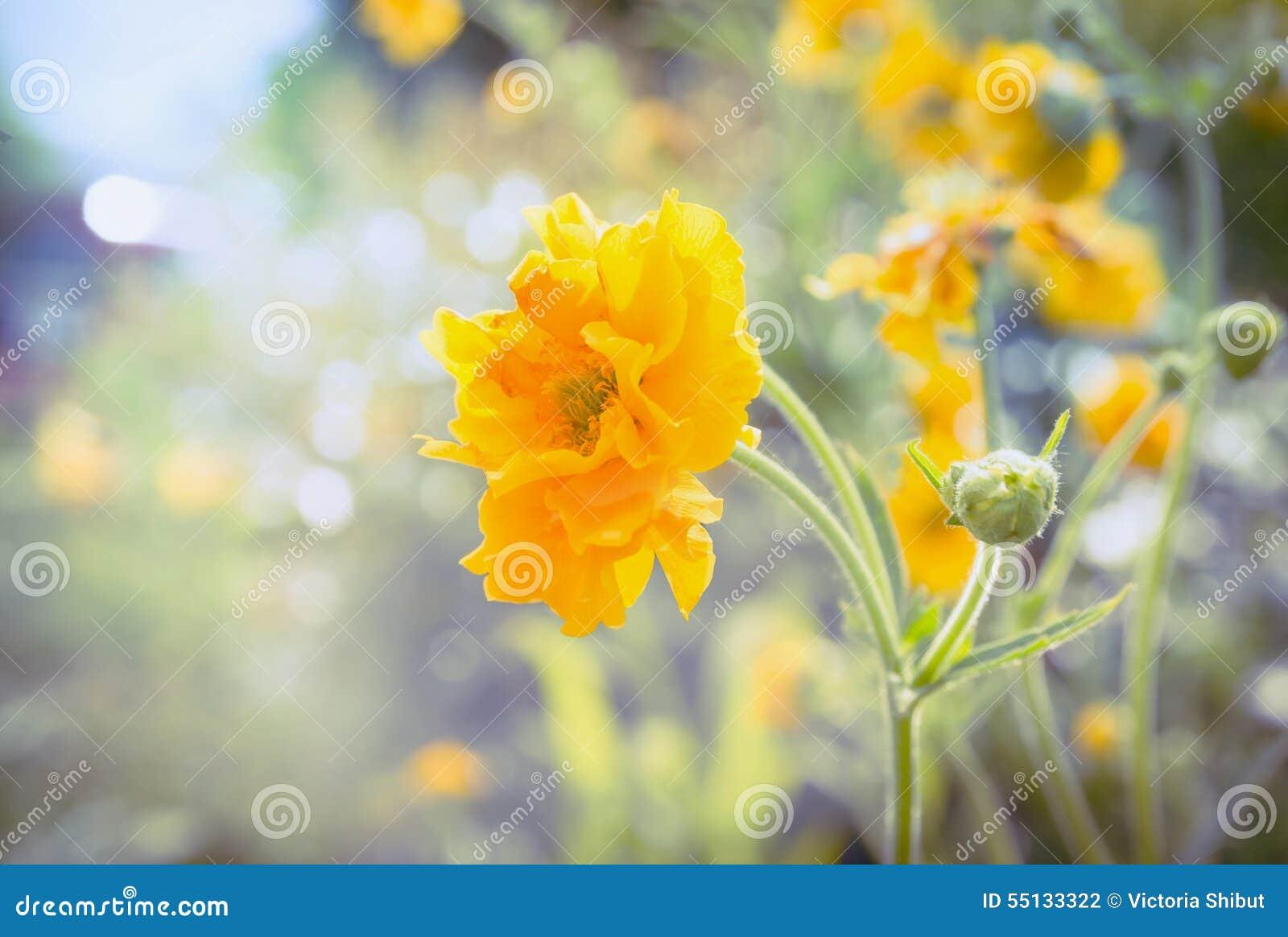 Le Geum jaune fleurit dans le lit de jardin ou de parc le jour ensoleillé