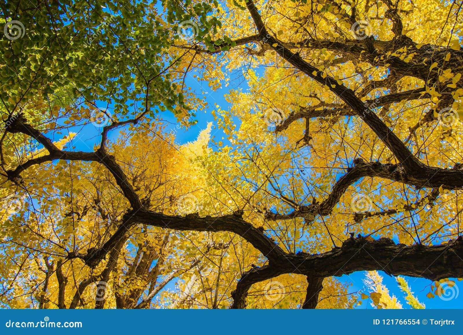 Le Ginkgo jaune et vert part contre le ciel bleu, Ba de feuilles de ginkgo