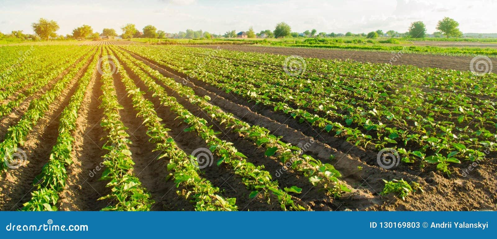 Le giovani melanzane si sviluppano nel campo file di verdure Agricoltura, coltivante farmlands Paesaggio con terreno agricolo Le