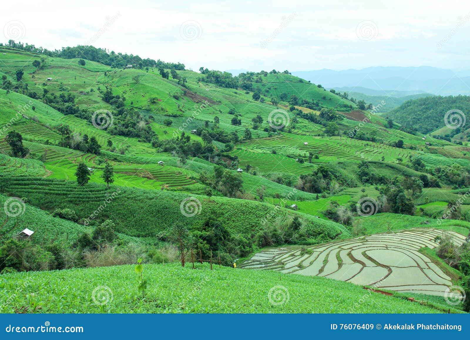 Le gisement en terrasse vert de riz à la PA bong le village de piang, Chiangmai, Thaïlande