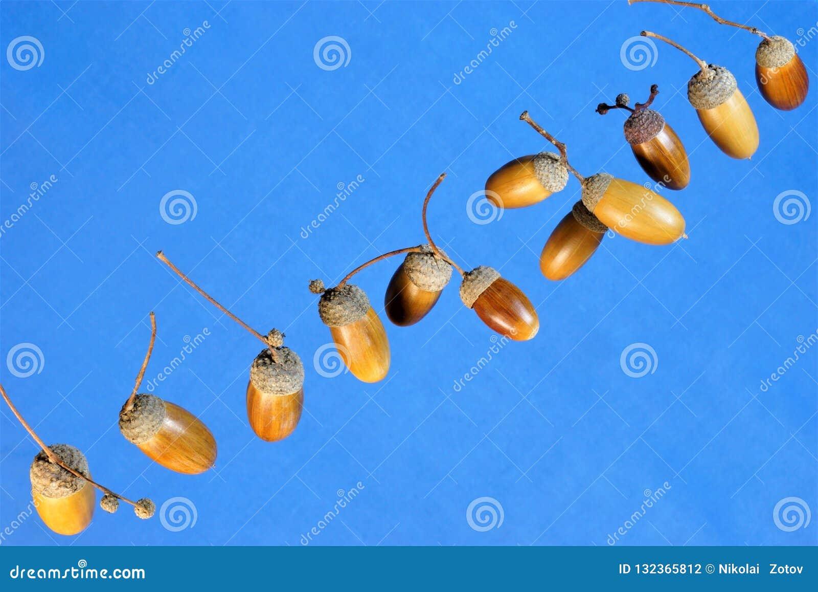 Le gland est le fruit du chêne puissant contre le ciel bleu, la famille de hêtre