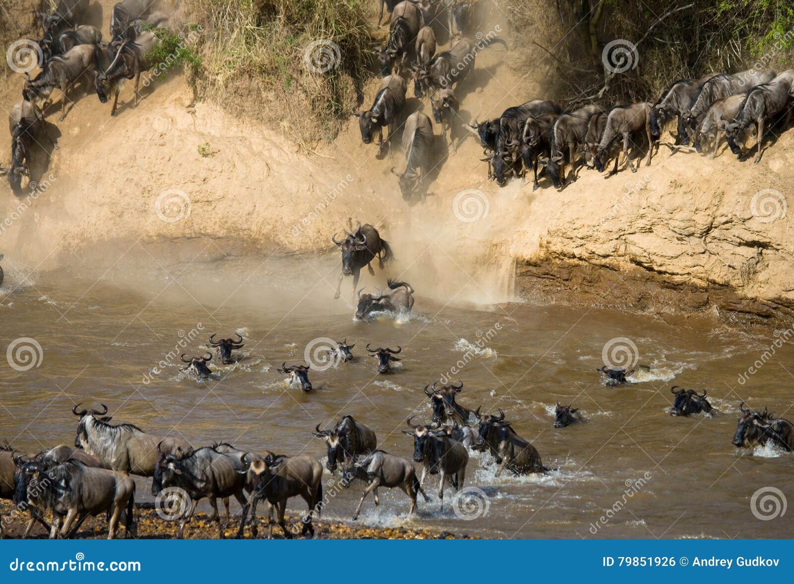 Le gnou sautant dans Mara River Transfert grand kenya tanzania Masai Mara National Park