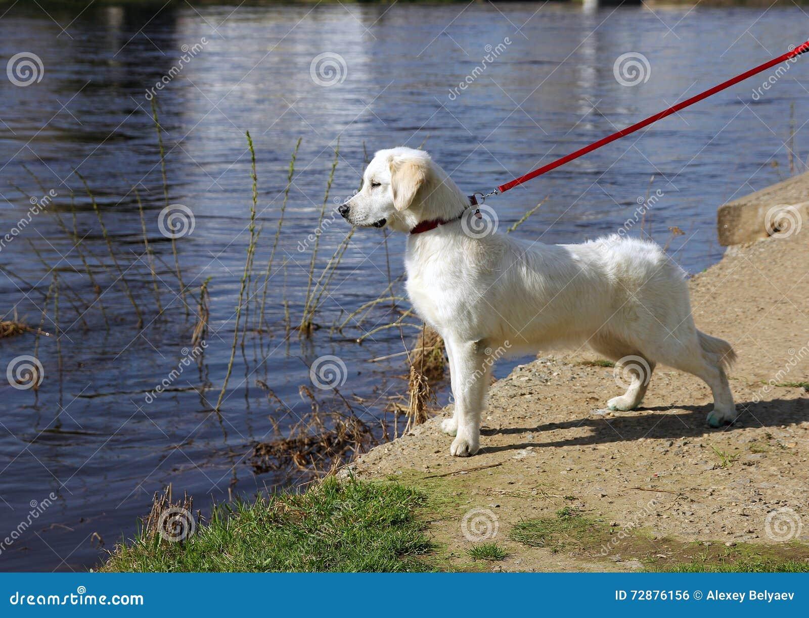 le golden retriever blanc de chien avec le nez noir sur une laisse regarde fixement photo stock. Black Bedroom Furniture Sets. Home Design Ideas