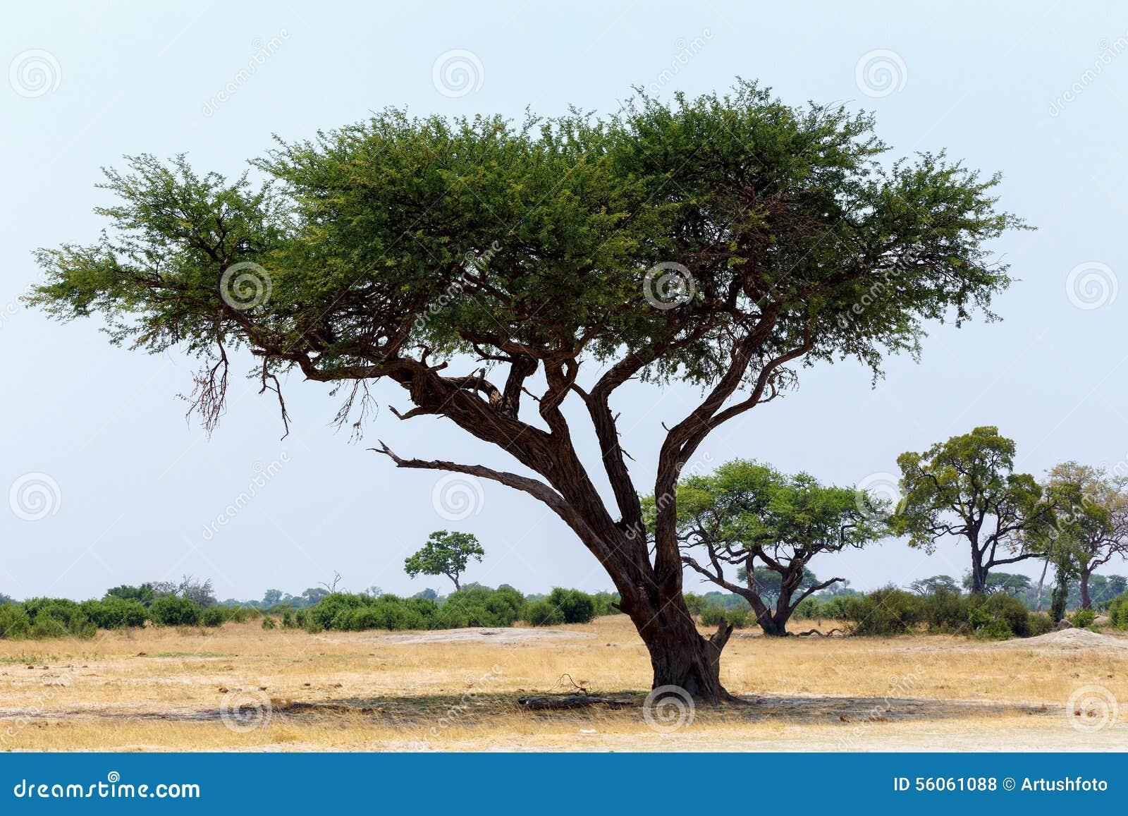 Le grand arbre d 39 acacia dans la savane ouverte raffine l 39 afrique photo stock image 56061088 - Arbre africain en 7 lettres ...