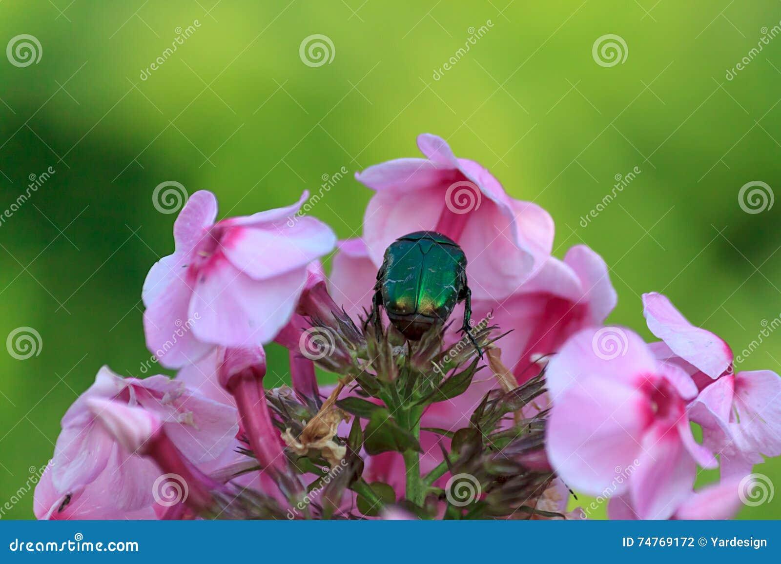 le grand scarabée vert ou le scarabée rose ou le cetonia sur des