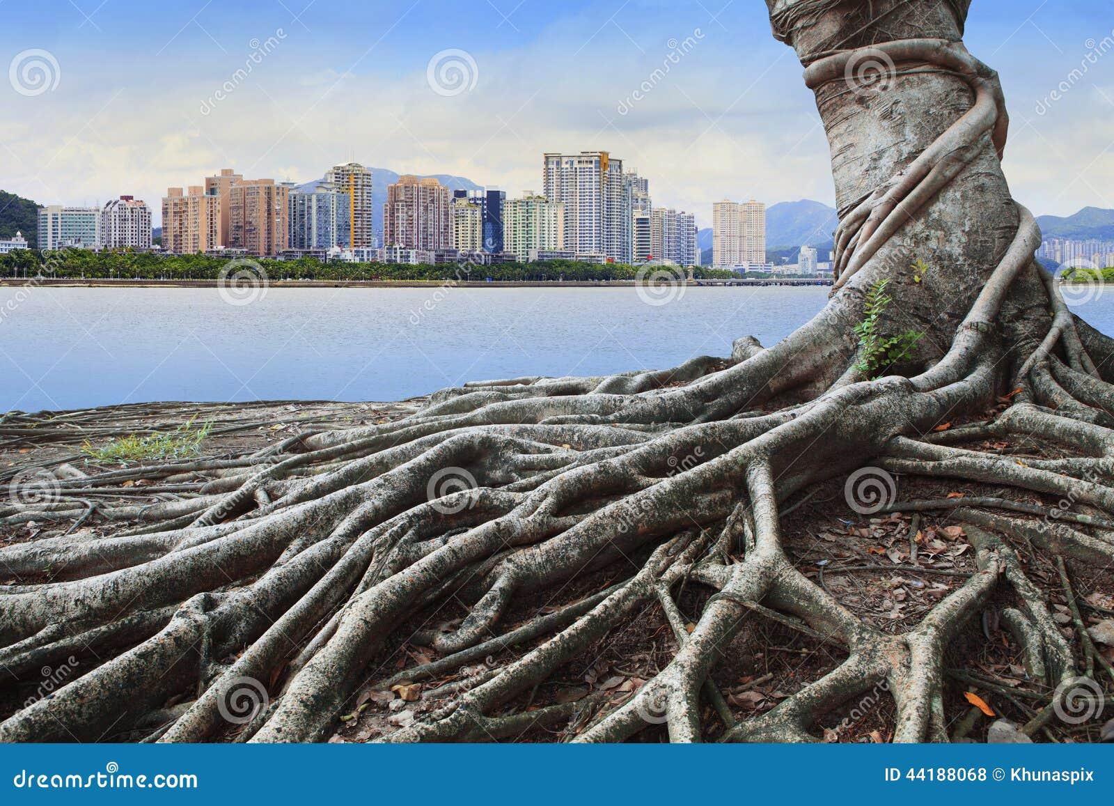 Le grands arbre de racine devant la forêt de concept de bâtiment de ville et urbains grandissent ensemble