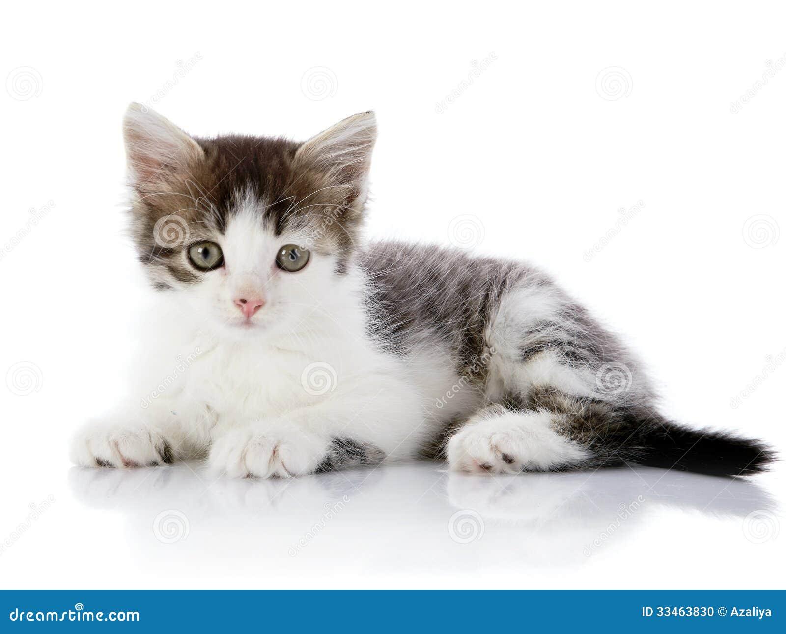 Le gris avec le blanc le chaton se trouve sur un fond blanc photo stock image 33463830 - Enlever les puces sur un chaton ...