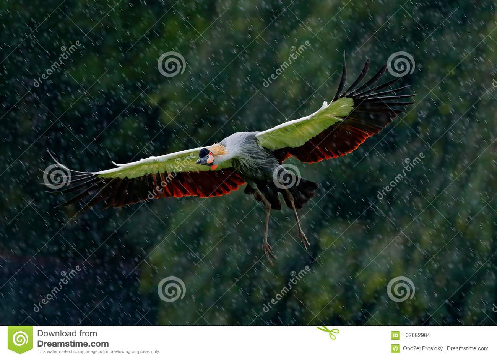 Le gris a couronné la mouche de grue, regulorum de Balearica, avec le fond foncé Tête d oiseau avec la crête d or dans la belle l
