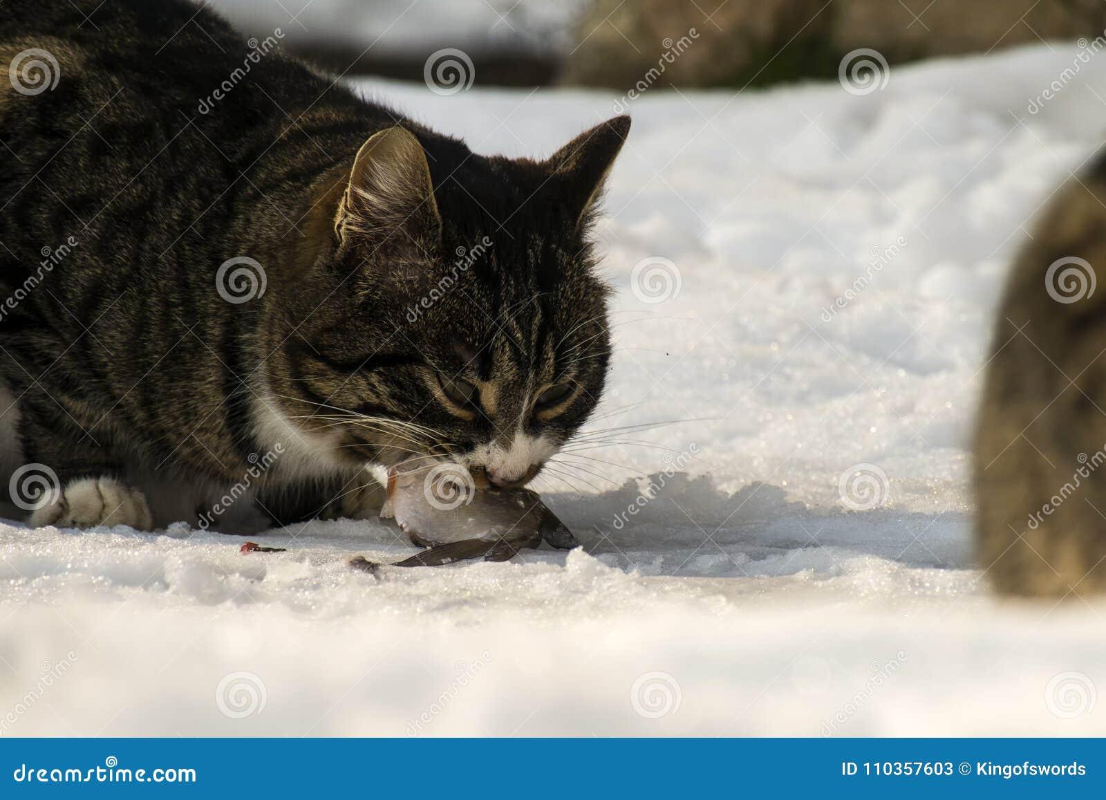 Le gros chat rayé mord ardemment dans un poisson frais