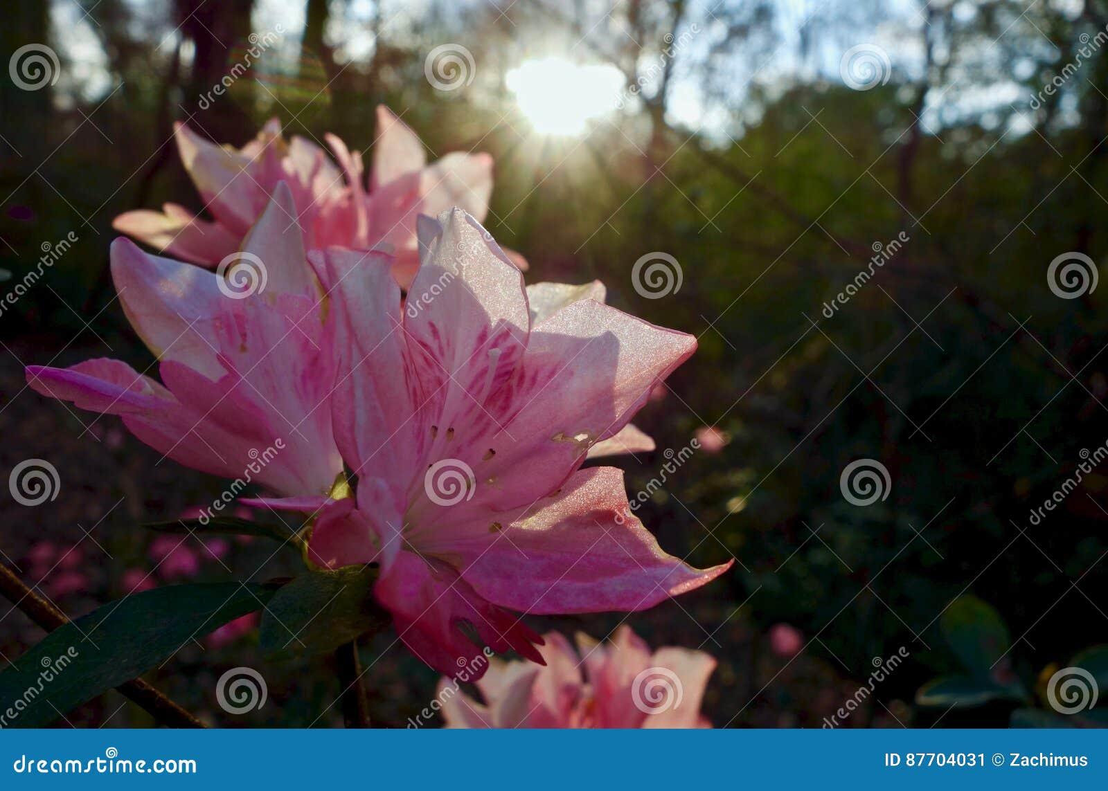 Le groupe d azalée fleurit sous le coucher du soleil de soirée