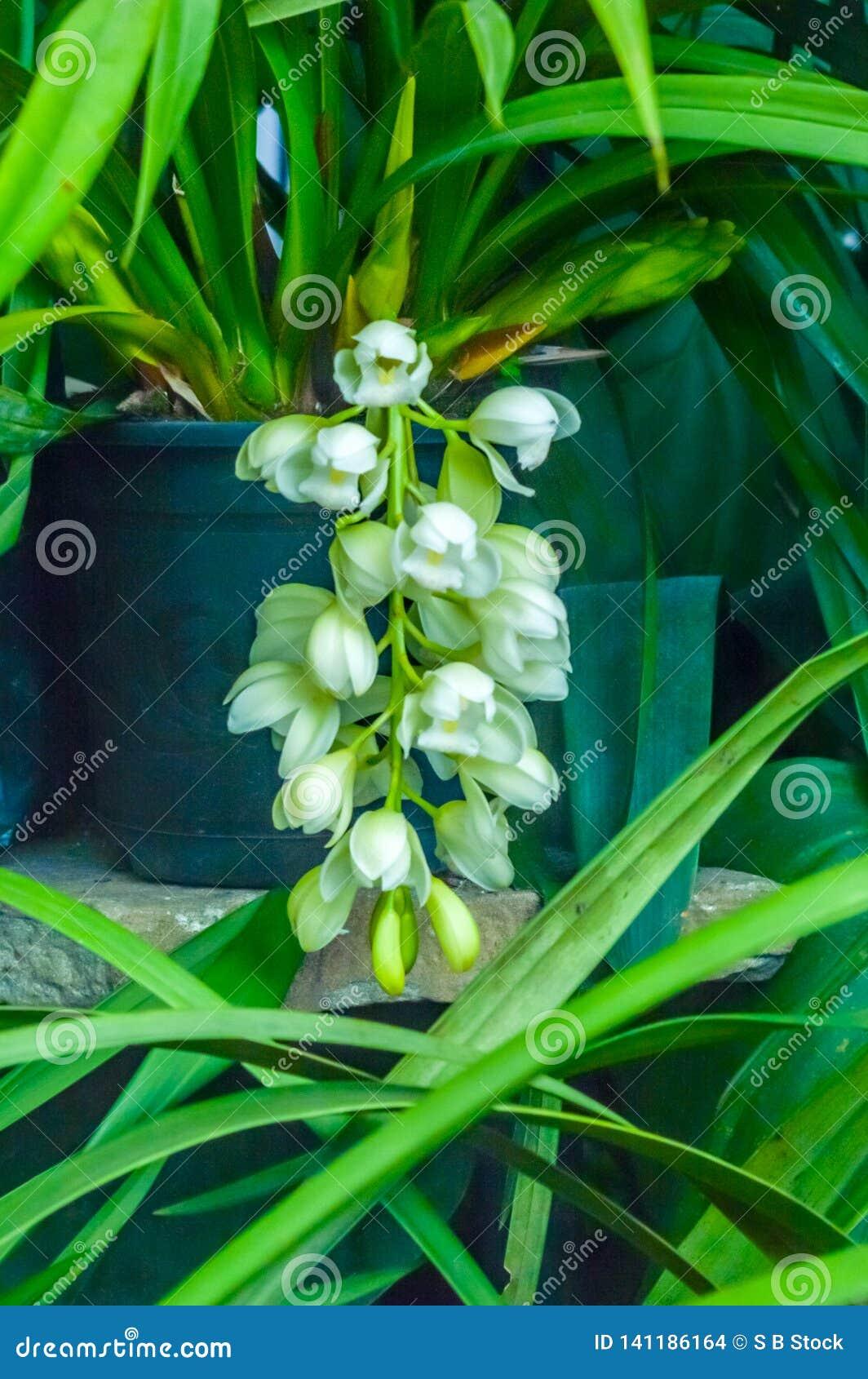 Le groupe de bourgeons d iris barbu, a généralement trouvé des espèces d iris de jardin des usines de floraison avec les fleurs v