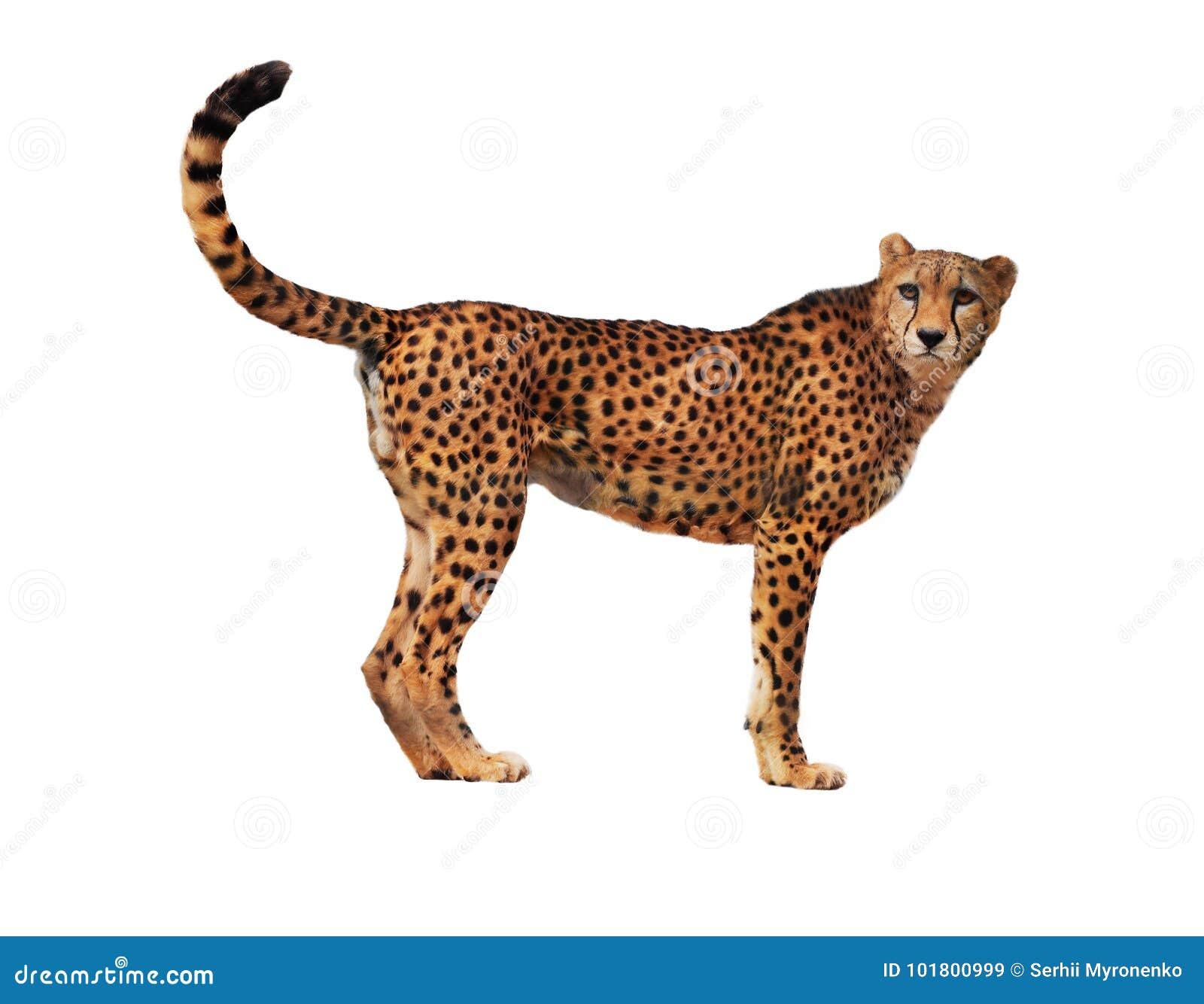 Le guépard a repéré d isolement au blanc