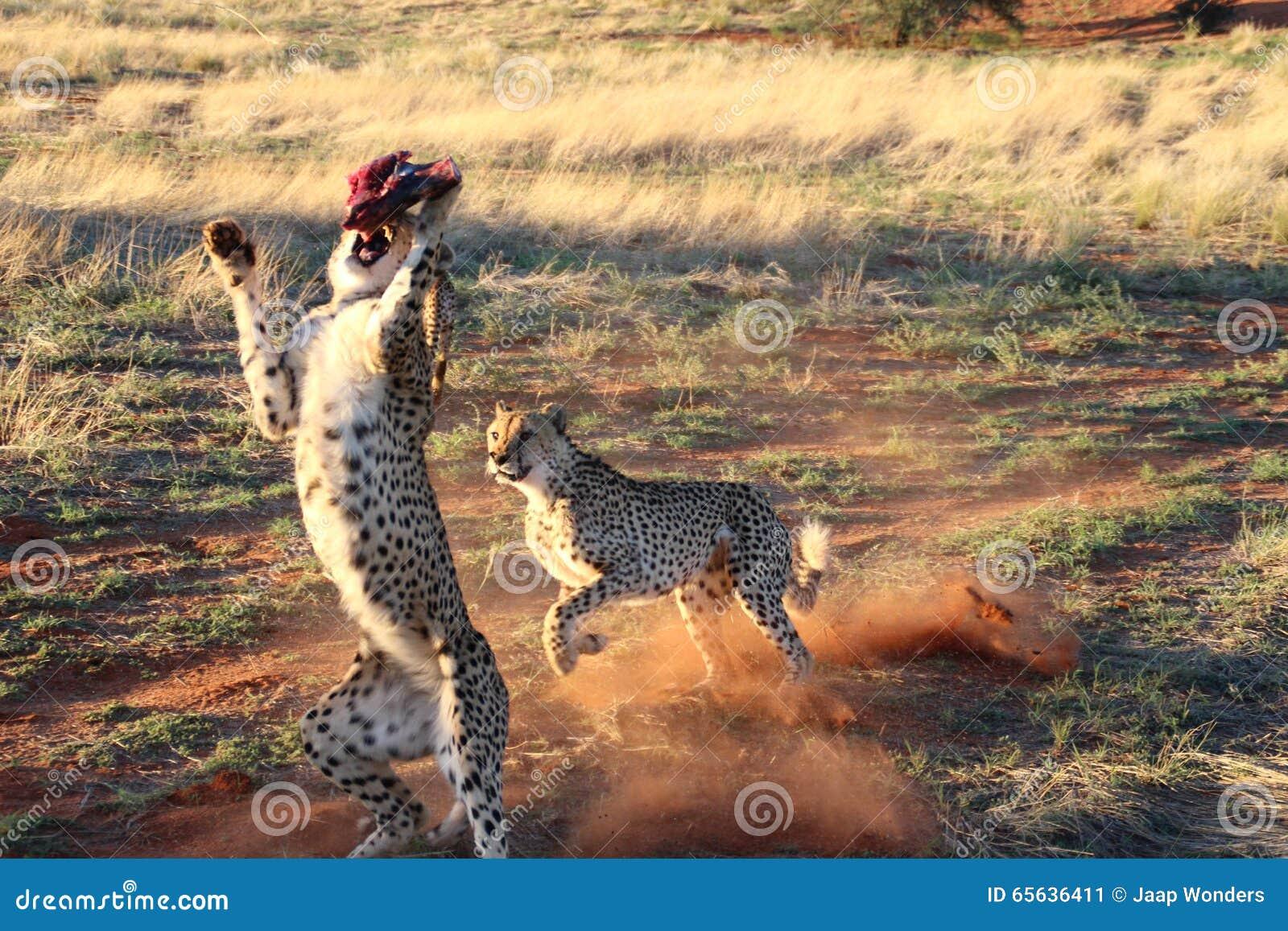 Le guépard sautant et fonctionnant à la viande Kalahari Namibie